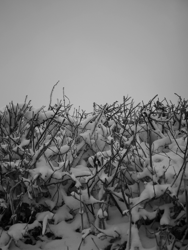 Photo of freezing rain of the hedgerows along Heleton